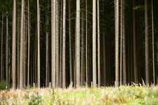 Free Trunks Of Conifers Royalty Free Stock Photography - 28223007