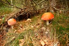 Free Two Toadstools Royalty Free Stock Images - 28223259