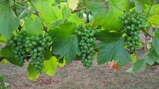 Free Grapes In Clusters On Grapevine Stock Images - 28224204