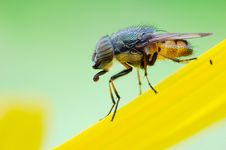 The Fly On Flowers Royalty Free Stock Images