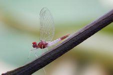Free Mayfly Or Ephemeroptera Stock Photo - 28228140