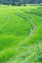 Free Terraced Rice Field, Northern Of Thailand Royalty Free Stock Images - 28241879