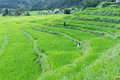Free Green Rice Field Of Thailand Royalty Free Stock Photos - 28242018