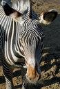 Free Zebra Royalty Free Stock Photography - 28244977