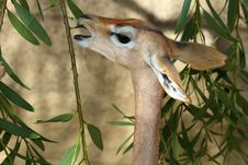 Free Gerenuk Royalty Free Stock Photography - 28244527