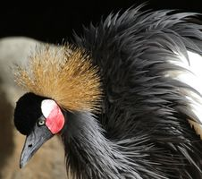 Free Crowned Crane Royalty Free Stock Images - 28244529