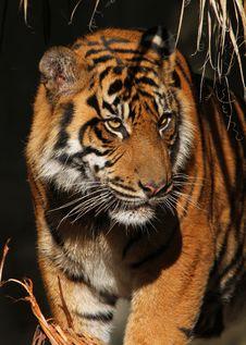 Free Tiger Royalty Free Stock Photo - 28245115