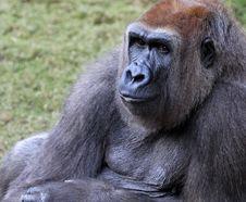 Free Gorilla Royalty Free Stock Images - 28245129