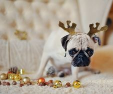 Free Pug On A Holiday Stock Photo - 28246550