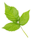 Free Three Leaves Of Raspberry Royalty Free Stock Photo - 28251045