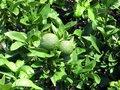 Free Green Mandarines Royalty Free Stock Photos - 28254438