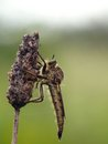 Free Robber Fly Stock Photo - 28256240