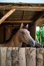 Free Arabian Horse Stock Photo - 28259600