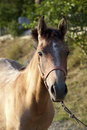 Free Arabian Horse Royalty Free Stock Image - 28259616