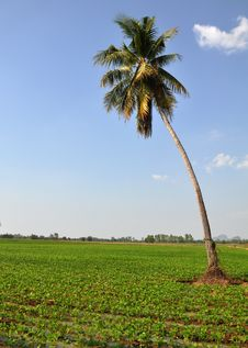 Free Coconut Tree Stock Photography - 28252032
