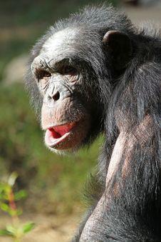Free Chimpanzee Royalty Free Stock Image - 28253976