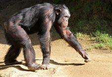 Free Chimpanzee Stock Photos - 28253993