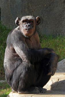Free Chimpanzee Stock Photos - 28254053