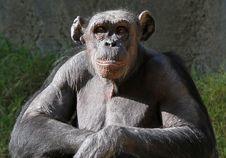 Free Chimpanzee Royalty Free Stock Photos - 28254068