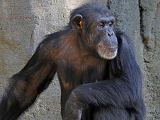 Free Chimpanzee Royalty Free Stock Photos - 28254118