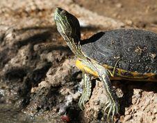 Free Turtle Royalty Free Stock Image - 28254296