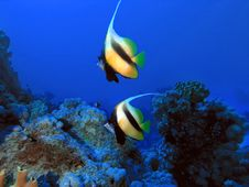 Free Pair Of Bannerfish In Front Of Coral Reef Stock Image - 28259991