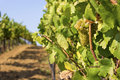 Free Lush, Ripe Wine Grapes On The Vine Royalty Free Stock Photography - 28264347
