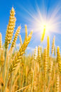 Free Mature Ears Of Wheat. Royalty Free Stock Image - 28265746