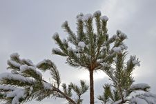 Free Pine Tree In The Snow Stock Images - 28269394