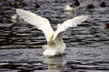 Free A Swan Flapping Stock Photo - 28279160