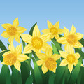 Free Blooming Daffodils Stock Image - 28279661