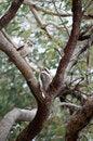 Free Kookaburra Royalty Free Stock Photos - 28279928