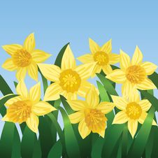 Free Blooming Daffodils Stock Image - 28279661