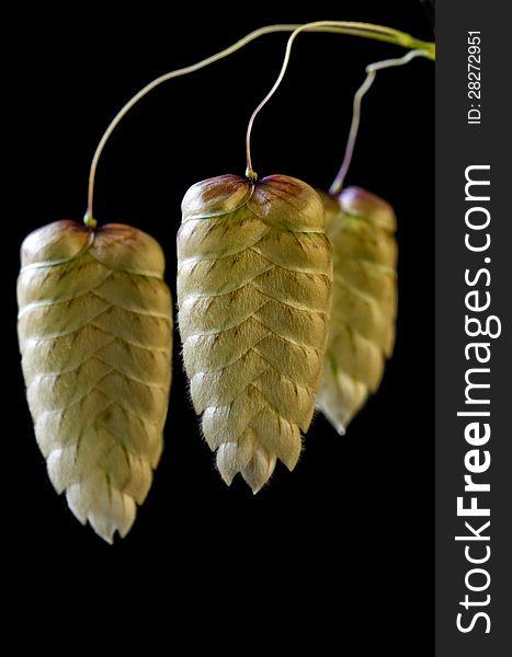 Glose up of grass seedpod heads