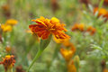 Free The Marigolds Flowers Royalty Free Stock Images - 28282179