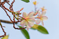 Free Branch Of Tropical Flowers Frangipani Royalty Free Stock Photo - 28284845