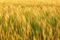Free Rye Field Stock Photography - 28288022