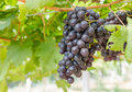 Free Red Grapes On The Vine Royalty Free Stock Photos - 28289388