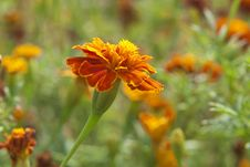 The Marigolds Flowers Royalty Free Stock Images