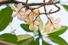Free Branch Of Tropical Flowers Frangipani Royalty Free Stock Photography - 28284867