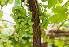 Free Green Grapes On The Vine Stock Images - 28289324