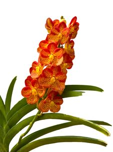 Free Orange Orchid Royalty Free Stock Photos - 28289358