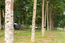 Free Tapping Latex From Rubber Tree Royalty Free Stock Images - 28289469
