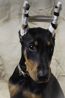 Free Doberman Pinscher Puppy Portrait Royalty Free Stock Photo - 28289955