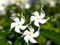 Free Jasmine Flowers. Royalty Free Stock Photo - 28290825
