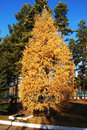 Free Yellow Larch Tree Stock Photo - 28291460