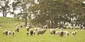 Free Sheep In TAsmania Royalty Free Stock Photo - 28293405