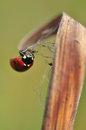 Free Seven-spot Ladybird Stock Photo - 28294440