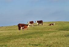 Free Grazing Cattle In An English Meadow Stock Images - 28291364