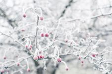 Free Frozen Rosehips Stock Photo - 28294110